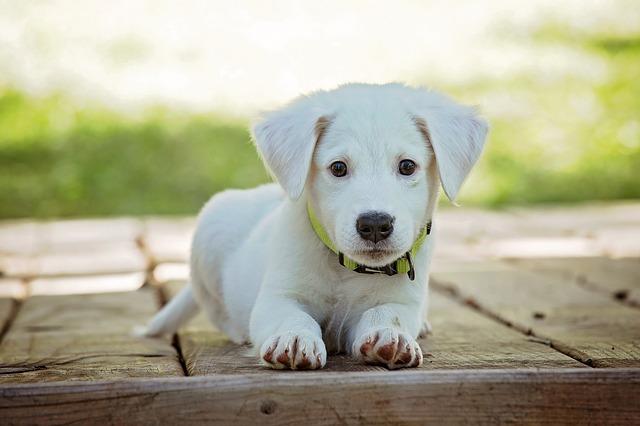 bílé štěně